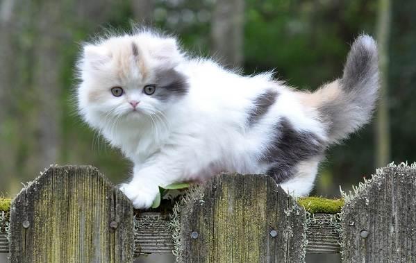 Манчкин-кошка-Описание-особенности-виды-уход-и-цена-породы-манчкин-3