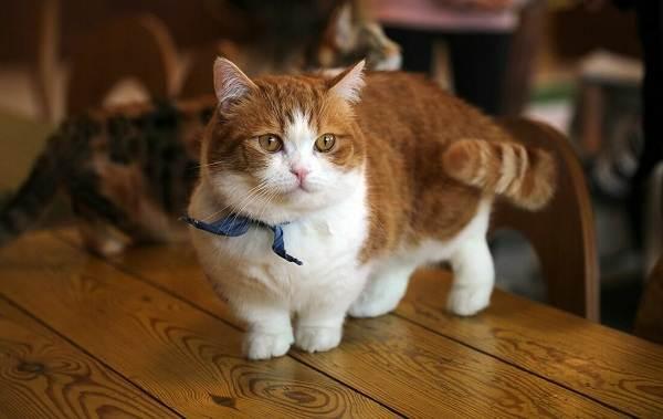Манчкин-кошка-Описание-особенности-виды-уход-и-цена-породы-манчкин-4