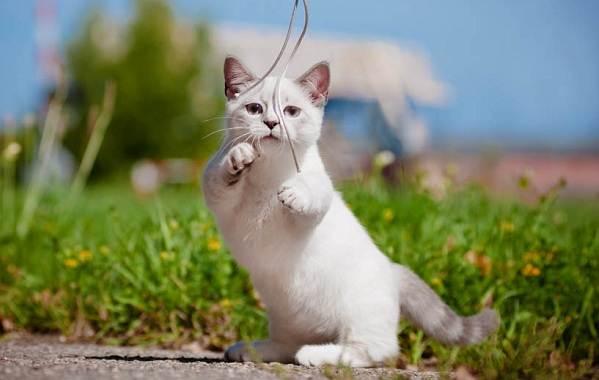 Манчкин-кошка-Описание-особенности-виды-уход-и-цена-породы-манчкин-5
