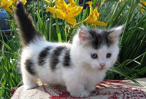 Манчкин-кошка-Описание-особенности-виды-уход-и-цена-породы-манчкин-6
