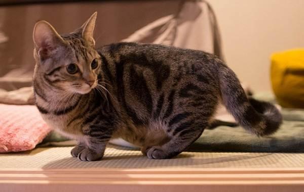 Манчкин-кошка-Описание-особенности-виды-уход-и-цена-породы-манчкин-7