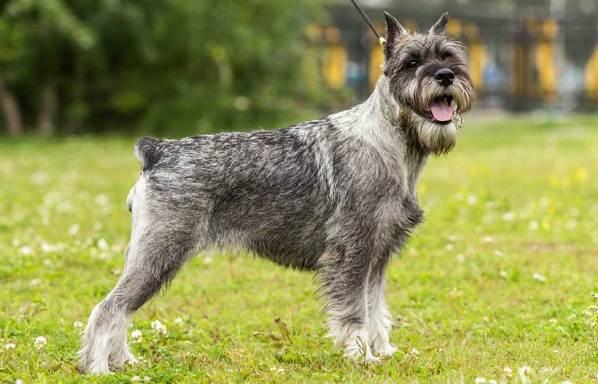 Миттельшнауцер-собака-Описание-особенности-виды-уход-и-цена-породы-1