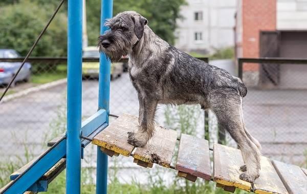 Миттельшнауцер-собака-Описание-особенности-виды-уход-и-цена-породы-10