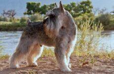 Миттельшнауцер собака. Описание, особенности, виды, уход и цена породы