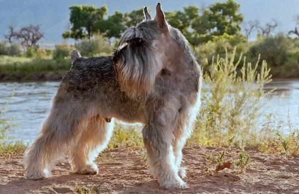 Миттельшнауцер-собака-Описание-особенности-виды-уход-и-цена-породы-11
