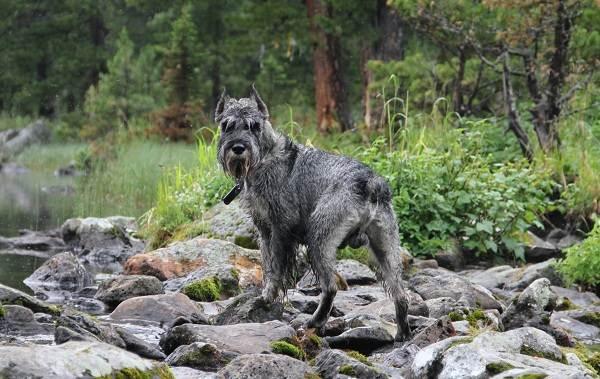 Миттельшнауцер-собака-Описание-особенности-виды-уход-и-цена-породы-12
