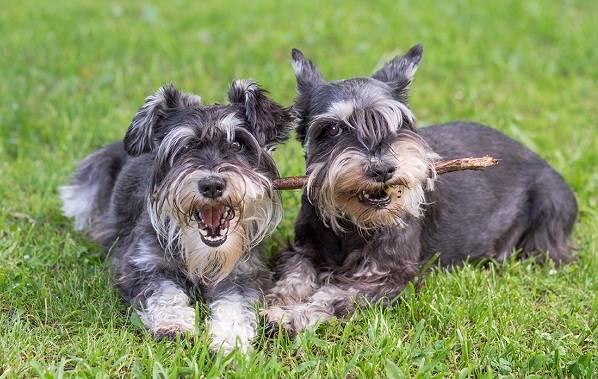 Миттельшнауцер-собака-Описание-особенности-виды-уход-и-цена-породы-13