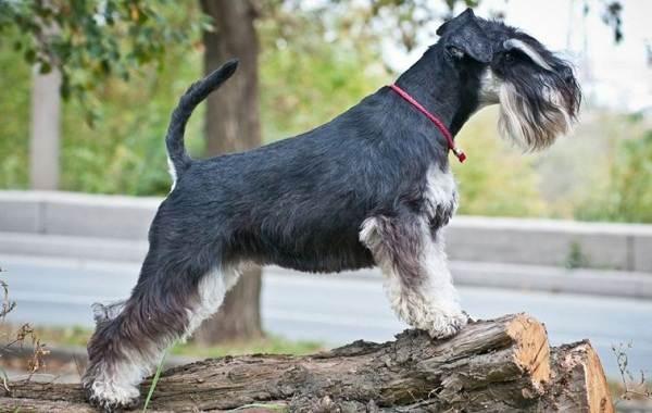 Миттельшнауцер-собака-Описание-особенности-виды-уход-и-цена-породы-16