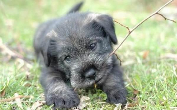 Миттельшнауцер-собака-Описание-особенности-виды-уход-и-цена-породы-17
