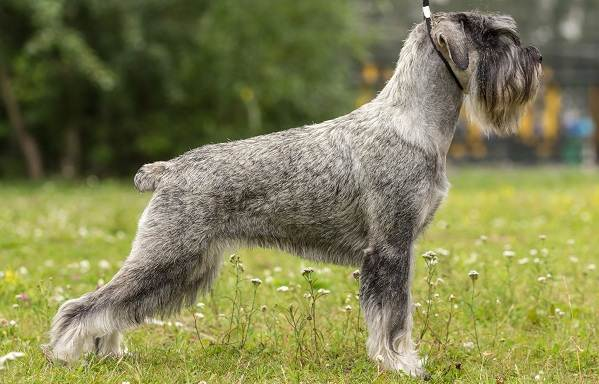 Миттельшнауцер-собака-Описание-особенности-виды-уход-и-цена-породы-2