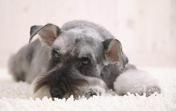 Миттельшнауцер-собака-Описание-особенности-виды-уход-и-цена-породы-20