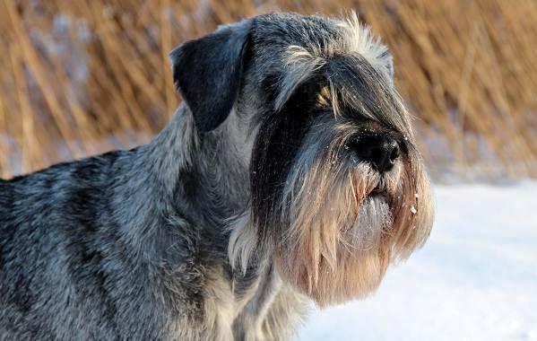 Миттельшнауцер-собака-Описание-особенности-виды-уход-и-цена-породы-3