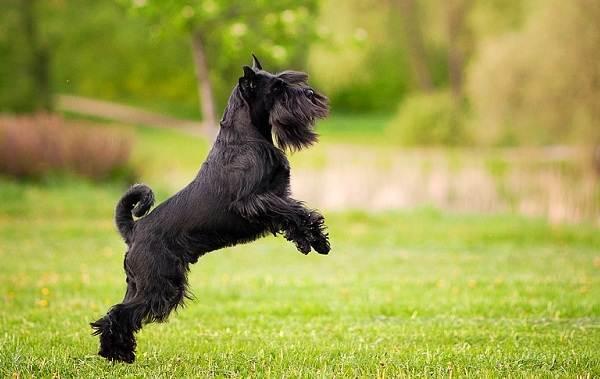 Миттельшнауцер-собака-Описание-особенности-виды-уход-и-цена-породы-4
