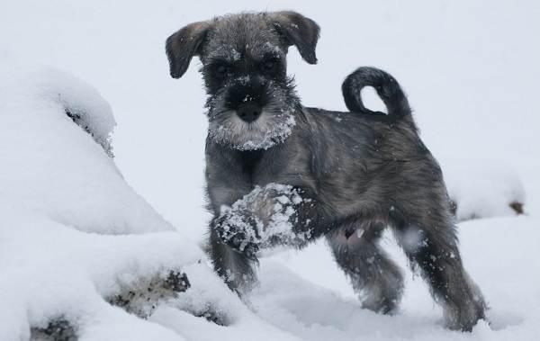 Миттельшнауцер-собака-Описание-особенности-виды-уход-и-цена-породы-5