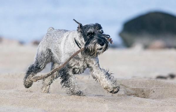 Миттельшнауцер-собака-Описание-особенности-виды-уход-и-цена-породы-6