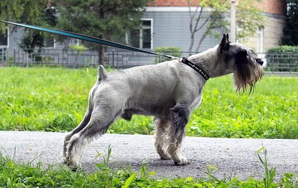 Миттельшнауцер-собака-Описание-особенности-виды-уход-и-цена-породы-8