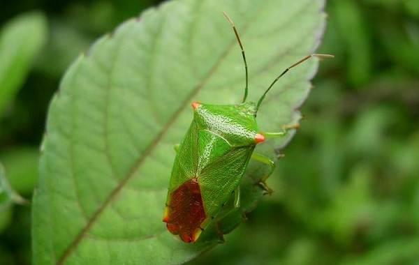Мраморный-клоп-насекомое-Описание-особенности-виды-и-способы-борьбы-с-вредителем-10