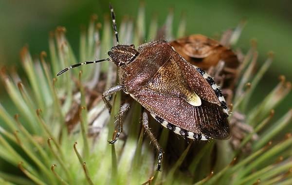 Мраморный-клоп-насекомое-Описание-особенности-виды-и-способы-борьбы-с-вредителем-11