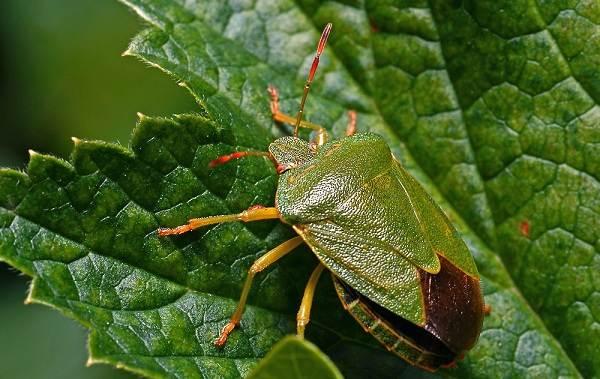 Мраморный-клоп-насекомое-Описание-особенности-виды-и-способы-борьбы-с-вредителем-12