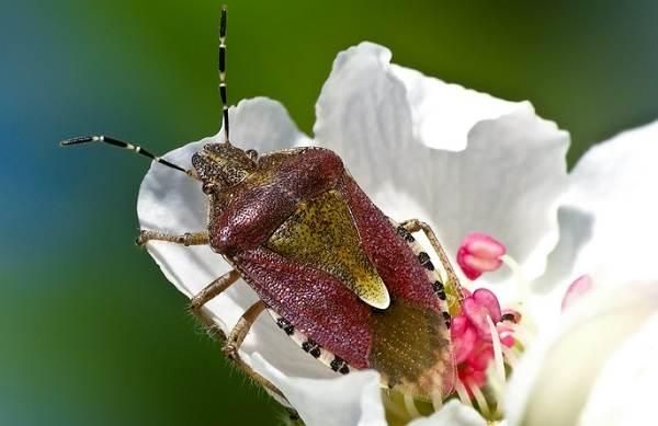 Мраморный-клоп-насекомое-Описание-особенности-виды-и-способы-борьбы-с-вредителем-13