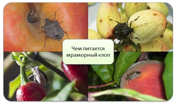 Мраморный-клоп-насекомое-Описание-особенности-виды-и-способы-борьбы-с-вредителем-14
