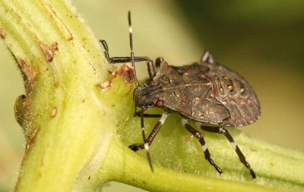 Мраморный-клоп-насекомое-Описание-особенности-виды-и-способы-борьбы-с-вредителем-15