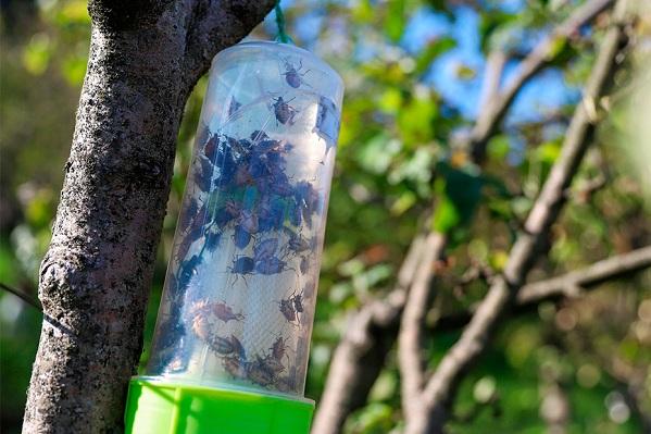 Мраморный-клоп-насекомое-Описание-особенности-виды-и-способы-борьбы-с-вредителем-16