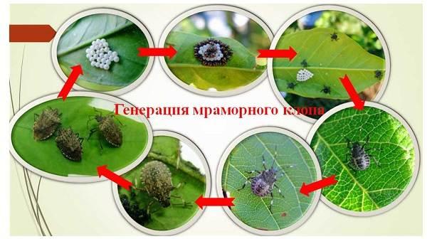 Мраморный-клоп-насекомое-Описание-особенности-виды-и-способы-борьбы-с-вредителем-2