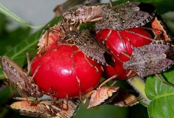 Мраморный-клоп-насекомое-Описание-особенности-виды-и-способы-борьбы-с-вредителем-5