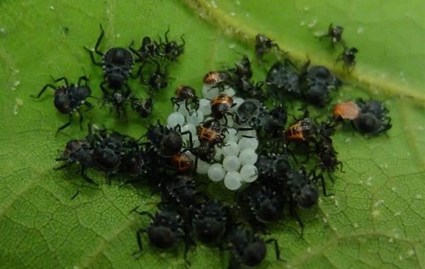 Мраморный-клоп-насекомое-Описание-особенности-виды-и-способы-борьбы-с-вредителем-6