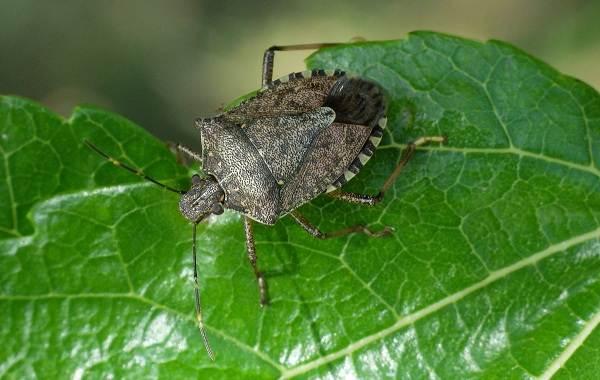 Мраморный-клоп-насекомое-Описание-особенности-виды-и-способы-борьбы-с-вредителем-7
