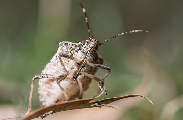 Мраморный-клоп-насекомое-Описание-особенности-виды-и-способы-борьбы-с-вредителем-9