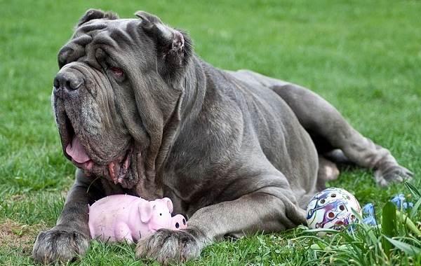 Неаполитанский-мастиф-собака-Описание-особенности-уход-и-цена-породы-14