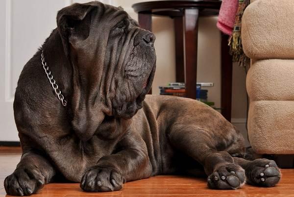 Неаполитанский-мастиф-собака-Описание-особенности-уход-и-цена-породы-2