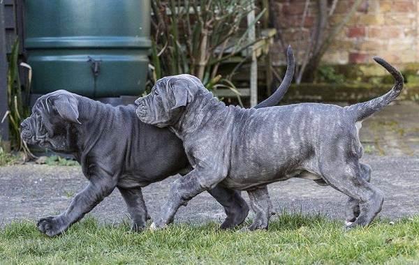 Неаполитанский-мастиф-собака-Описание-особенности-уход-и-цена-породы-6