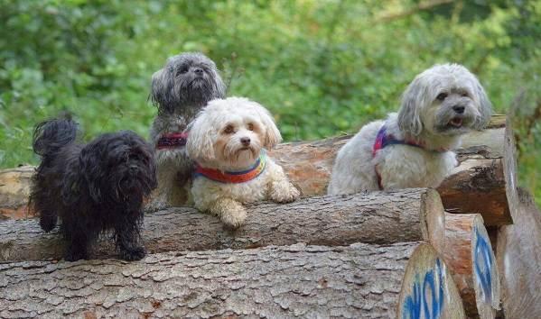 Русская-болонка-собака-Описание-особенности-виды-уход-и-цена-породы-1