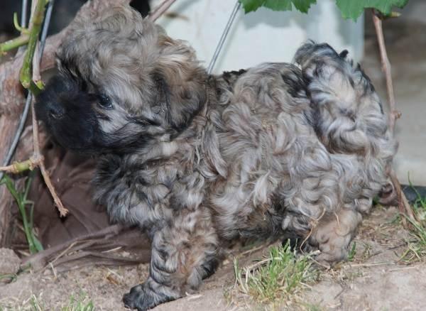 Русская-болонка-собака-Описание-особенности-виды-уход-и-цена-породы-11
