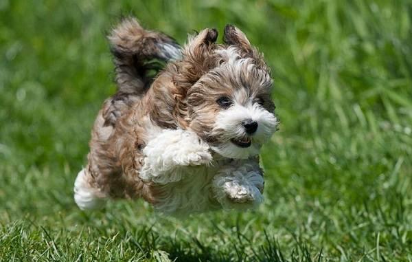 Русская-болонка-собака-Описание-особенности-виды-уход-и-цена-породы-12