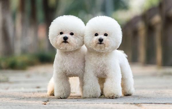 Русская-болонка-собака-Описание-особенности-виды-уход-и-цена-породы-14