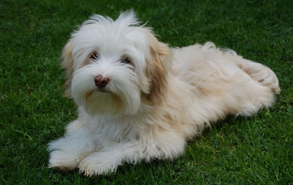 Русская-болонка-собака-Описание-особенности-виды-уход-и-цена-породы-15