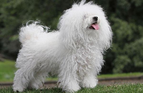 Русская-болонка-собака-Описание-особенности-виды-уход-и-цена-породы-16