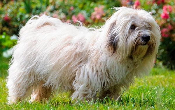 Русская-болонка-собака-Описание-особенности-виды-уход-и-цена-породы-17