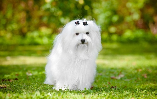 Русская-болонка-собака-Описание-особенности-виды-уход-и-цена-породы-18