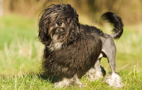 Русская-болонка-собака-Описание-особенности-виды-уход-и-цена-породы-19
