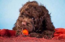 Русская болонка собака. Описание, особенности, виды, уход и цена породы