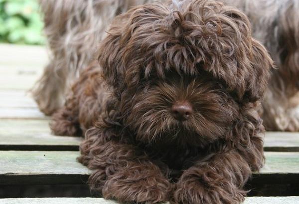 Русская-болонка-собака-Описание-особенности-виды-уход-и-цена-породы-21