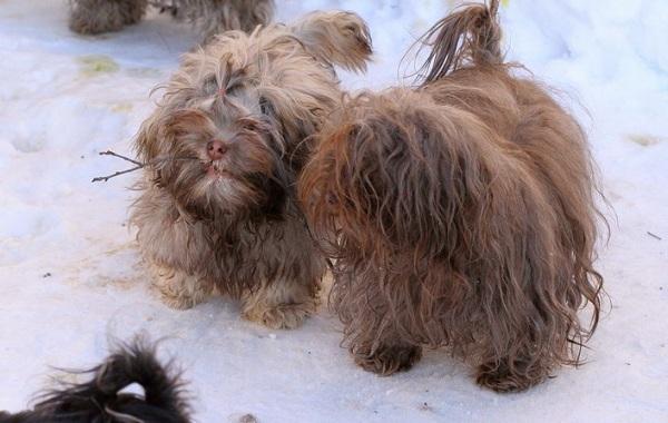 Русская-болонка-собака-Описание-особенности-виды-уход-и-цена-породы-22