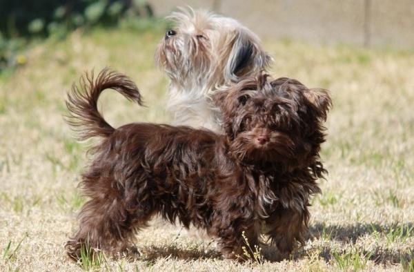 Русская-болонка-собака-Описание-особенности-виды-уход-и-цена-породы-23