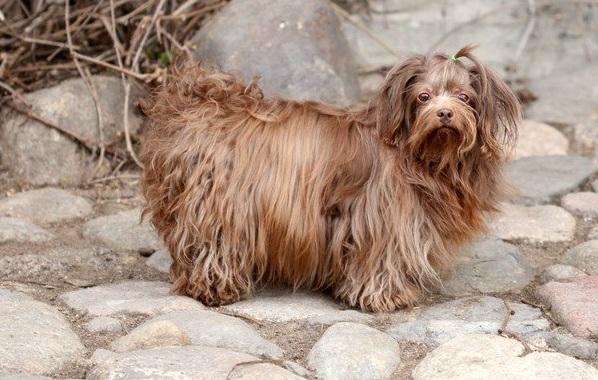 Русская-болонка-собака-Описание-особенности-виды-уход-и-цена-породы-24
