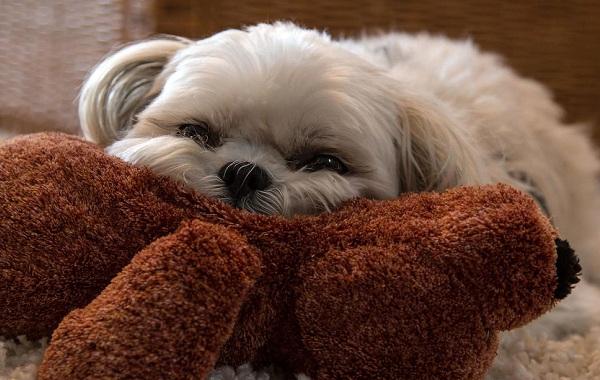 Русская-болонка-собака-Описание-особенности-виды-уход-и-цена-породы-25
